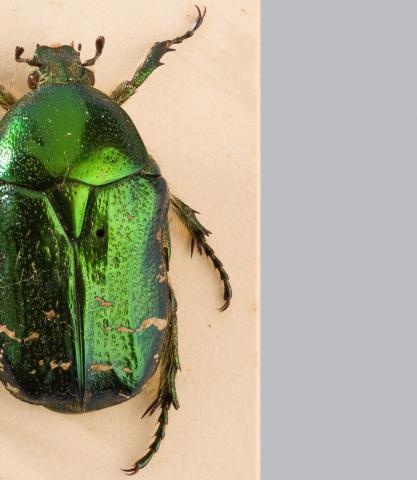 Image for Beetles