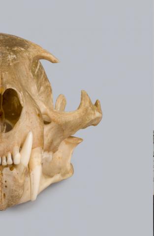 Image for Ocelot skull