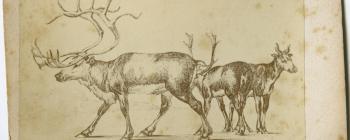 Image for Reindeer